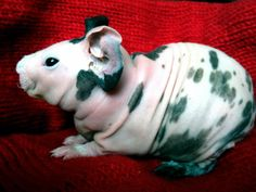 hairless guinea pig Piggies - Hairless Guinea Pigs - The Urban Pocket Pig - Chicago, IL Animals And Pets, Baby Animals, Funny Animals, Cute Animals, Pocket Pig, Hairless Animals, Guinea Pig Accessories, Skinny Pig, Baby Guinea Pigs
