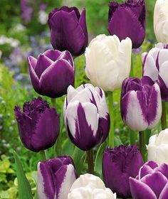 Beautiful mix of Purple & White Tulips. Purple Tulips, Tulips Flowers, Flowers Nature, Exotic Flowers, Amazing Flowers, My Flower, Daffodils, Spring Flowers, Beautiful Flowers