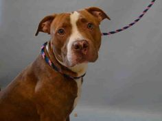 SAFE❤️❤️ 9/15/16 Manhattan Center LINUS aka MINUS- A1089170 MALE, BROWN / WHITE, AM PIT BULL TER MIX, 1 yr, 6 mos OWNER SUR – EVALUATE, NO HOLD Reason NO TIME Intake condition EXAM REQ Intake Date 09/09/2016, From NY 10454, DueOut Date 09/09/2016,