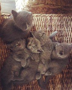 5 von 6 meine kleinen Engel sie werden so schnell groß #britishshorthair #intacat #bkhkitten #bkh #kater #lovecats