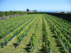 Quinta da Jardinette vineyard. NW side of island. Must pre-book using form here.
