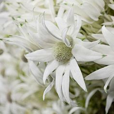 Flannel Flower Flannel Flower, Daisy, Flowers, Plants, Daisies, Flora, Plant, Royal Icing Flowers, Flower