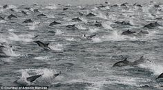 Mystery over the seven-mile long 'super mega-pod' of 100,000 dolphins spotted off the coast of San Diego.