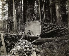 The Lumberjacks Who Felled California's Giant Redwoods | Amusing ...