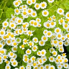 Feverfew is among nature's most powerful plants that contain medical benefits. The plant is covered by flowers reminiscent of daisies and has citrus-scented leaves. Its well-known and documented health properties include being an anti-inflammatory that can treat rheumatism, arthritis, migraine headaches and tension headaches.