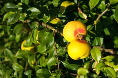 owoce pigwowca