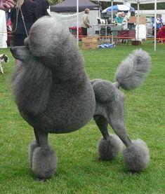Ramze - Grey Poodle
