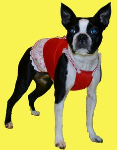 "Boston Terrier Dog Lucy is sassy in her red ""Girly Tuxedo Dress"" !!!! www.fetchdogfashions.com  #puppy"