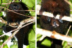 Monkey Dung Beetles