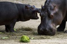 スイス・バーゼル(Basel)のバーゼル動物園(Basel Zoo)で、母親の「アシャキ(Ashaki)」と一緒に餌を食べる、コビトカバの「ラニ(Lani)」(左、2014年5月17日撮影)。(c)AFP/FABRICE COFFRINI ▼22May2014AFP 母親といつも一緒、コビトカバの赤ちゃん スイス http://www.afpbb.com/articles/-/3015529 #Basel_Zoo #Ashaki #Lani #Pygmy_hippopotamus #Choeropsis_liberiensis #Hexaprotodon_liberiensis #Zwergflusspferd #Hipopotam_karlowaty #Cuce_suaygiri #Dwergnijlpaard