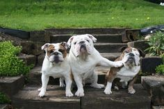 funny photos 3 bulldogs one pushing the other dog out of the way