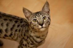 The Savannah is an athletic, intelligent hybrid breed with distinct wildcat markings ideal for active people and families | Savannah Cat Breed Profile