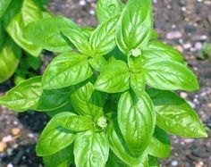 Im growing my own fresh herbs and basil smells delicious so I've chosen it to be my first herb plant. Bonsai, Basil Plant, Easy Care Plants, Fertilizer For Plants, Organic Fertilizer, Organic Gardening, Gardening Tips, Edible Plants, Healing Herbs