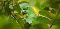 Polly wants a future: Yellow-naped Amazon in illegal pet trade crisis