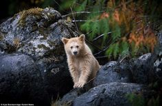 24502BF300000578-2889922-The_adorable_little_white_bear_cub_appeared_to_be_around_eight_m-a-2_1419857512792-e1422225789530.jpg 500×330 pixels