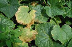 Ezt tedd, ha el szeretnéd kerülni az uborka leveleinek sárgulását!