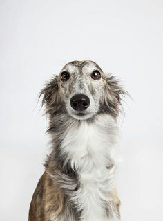 Longhaired Greyhound