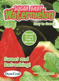 Sugar Baby Watermelon Seed Pack- Grow Edible Watermelons - Off The Wall Toys and Gifts Sugar Baby Watermelon, Seed Packaging, Off The Wall, Trees To Plant, Harvest, Seeds, Fruit, Plants, Toys
