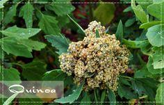 Masso Vita: Afinal, o que é Quinoa?