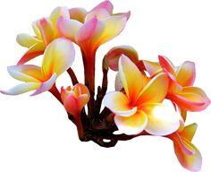 33 Best Natalie Images Flowers Tropical Flowers Plumeria Flowers