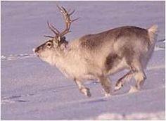 el reno es un animal del ecosistema tundra