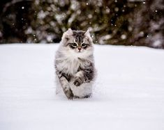 Amy the Siberian forest cat rescued in Puerto del Rosario by a couple traveling in the area. Read more at http://lovemeow.com/2014/12/siberian-rescue-cats-play-snow-first-time/#mKfTUrZFZ05coFIr.99