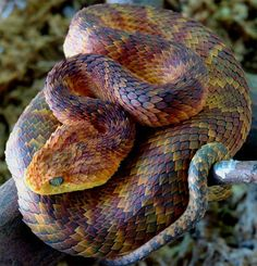 Atheris Squamigeria. One of the most beautiful snakes in the world