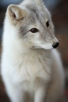 Pretty Gray Fox