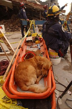 World Trade Center, New York September, 21, 2001 — FEMA's Urban Search and Rescue teams search for survivors amongst the wreckage of the World Trade Center while a rescue dog takes a needed break.    (Andrea Booher / FEMA News Photo)