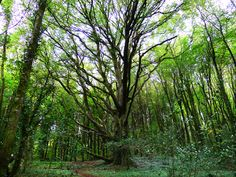The Queen of Trees. towering over the forest surrounding Moore Hall in the Wild West of Ireland. Wild West, Cosmos, Annie, Amsterdam, Planets, Ireland, Tower, Queen, Explore