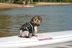 He hates being left behind........ so 1 doggie life jacket later and a SUPing Maxi goes! :)