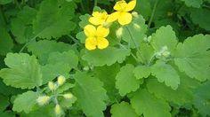 Celidonia, la planta de los mil usos