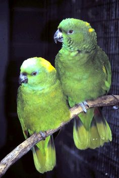 #throwbackthursday Rosemary Low's Yellow-naped #AmazonParrot factsheet from March 2013.