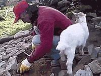Here Are 18 Goat GIFs You Won't Be Able to Get Enough Of