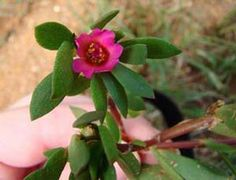 Make Your Own Organic Natural Red Fabric Dyes: Portulaca