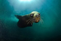 sea lion in Punta de Choros, Chile by oceana.org, via Flickr