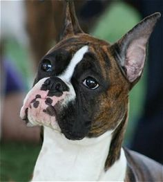 Ch.Skidoo's In Your Face, Beautiful Boxer Portraits, Worldwide Boxers