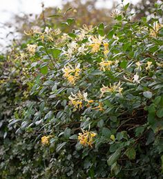 Buy Lonicera japonica 'Hall's Prolific' - this gives amazing perfume and posies to pick through the spring and summer. Buy yours today.