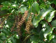 Green coffee mit ling zhi erfahrungen image 9