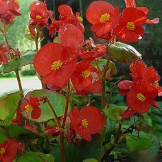 Begonia Semperflorens- hybr. Perennial Flowering Plants, Perennials, Different Plants, Plant Species, Begonia, Planting Flowers, Tropical, Green, Scenery