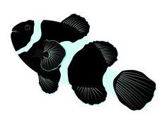 Black Ocellaris Clownfish illustration, also known as the Darwin Ocellaris, is only found around Darwin, Australia.