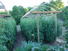 Here is a great way to grow a lot of tomatoes in a small area. #provisionsfarms -interesting way to get more plants in a smaller space.  link leads to a largely hydroponic gardening site but this pic was never found.