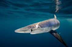 Want to scuba dive with big animals? These are the world's best scuba dives for seeing sharks, dolphins, whales, mantas and more. Sea Shark, Blue Shark, Orcas, All Sharks, Species Of Sharks, Shark Pictures, Shark Bait, Shark Swimming, Underwater Photographer