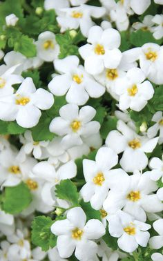 Giga Whie Bacopa. Very pretty stuff, but NEVER let it dry out or it will shrivel and s-l-o-w-l-y die. Feed 1/2 strength fert. weekly. Good in containers, polite habit; spiller.