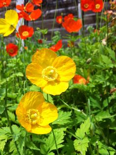California poppies...we have hundreds of these in our garden....I just scatter the seeds wherever I want them to grow