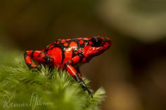 Oophaga histrionica - another color form