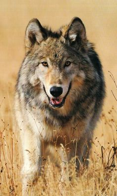 Love For Wolves.