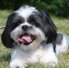 Elwood Is An Adoptable Shih Tzu Dog In Mchenry Il Elwood Is An 8 Year Old Male Shih Tzu He Is A Good Boy That Knows His Shih Tzu Shih Tzus Shih