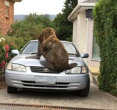 A large seal which ran amok in suburban Launceston on Boxing Day morning was eventually 'secured' by Tasmanian police, but not before leaving its mark on a car in Newstead, climbing on the bonnet to leave large dents and a broken windscreen in its wake. The wandering seal evaded capture for some time, roaming the streets of Newstead, with authorities warning the public not to approach the marine mammal to avoid agitating it.<br><br>
