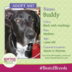 Hi there, I'm Buddy! I'm a big lovable black Great Dane looking for a forever home. Please help me by sharing this or contacting Danes In Distress. #BestofBreeds